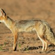 Cape fox - Stock Photo