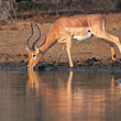 Impala antelope drinking — Stock Photo