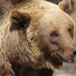 Grizzly bear — Stock Photo #6120008