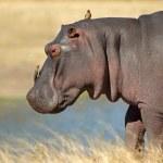 Hippopotamus — Stock Photo #6244968