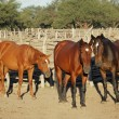 Stock Photo: Horses in paddock