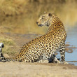 Leopard at waterhole — Stock Photo