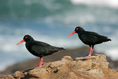 African black oystercatchers — Stock Photo