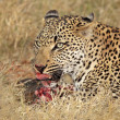 Feeding leopard - Stock Photo