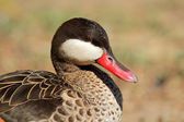 Red-billed teal — Stock Photo
