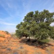 African Acacia tree on dune - Stock Photo