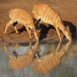Nyala antelopes drinking — Stock Photo #6638845