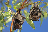 Black flying-foxes — Stock Photo