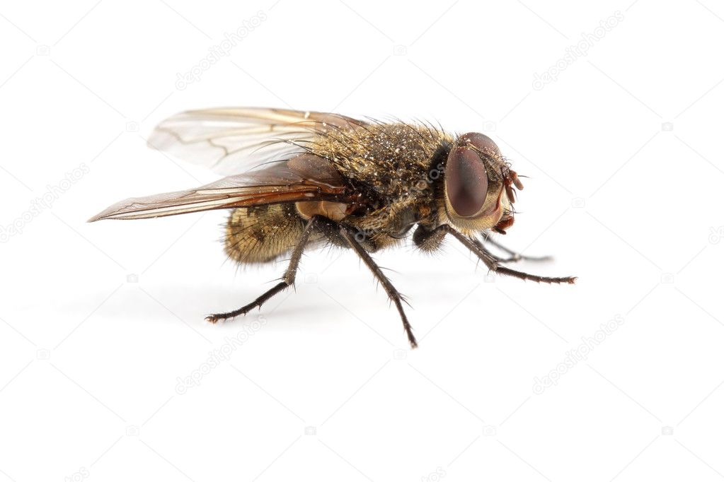 A hairy house fly on white — Stock Photo #6638838