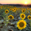 Sunflowers at sunset, HDR — Stock Photo
