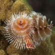 Stock Photo: Christmas Tree Worm