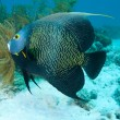 Tropical Angelfish — Stock Photo