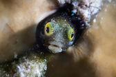 Fluviatilis subaquática — Fotografia Stock