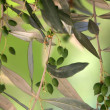 Stock Photo: Olives on branch