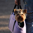 Yorkshire Terrier in a bag — Stock Photo