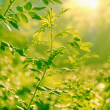 Background with green leaves and sunlight — Stock Photo