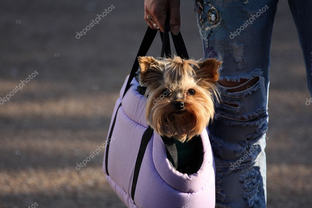 Yorkshire Terrier in a bag — Stock Photo #6223709