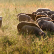 Sheep graze in the pasture — Stock Photo