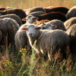 Stock Photo: Sheep graze in pasture