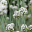 Meadow of flowering garlic. natural background — Stock Photo #6347708