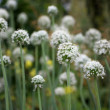Meadow of flowering garlic. natural background — Stock Photo