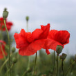 Beautiful meadow with red poppies — Stock Photo