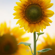 Sunflowers on natural background. field of sunflowers — Stock Photo #6347852