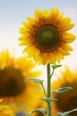 Sunflowers on the natural background. field of sunflowers — Stock Photo
