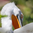 Portrait of white pelicans on the natural background — Stock Photo