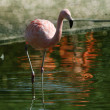 Pink flamingo on the natural background — Stock Photo