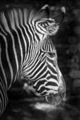 Portrait of a zebra black and white — Stock Photo