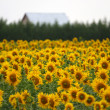 Royalty-Free Stock Photo: Field of sunflowers. agricultural landscape