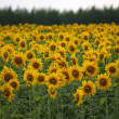 Field of sunflowers. agricultural landscape — Stock Photo