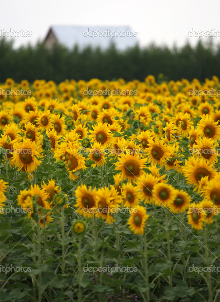 Field of sunflowers. agricultural landscape  Stock Photo #6421932
