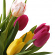 Pink and yellow tulips isolated on white background — Stock Photo