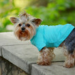 Foto Stock: Dressed dog