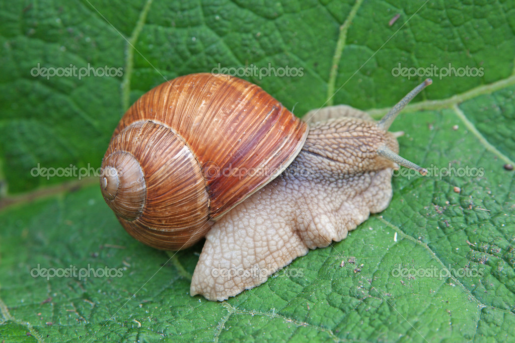 Snail on green leaf close — Stock Photo #5627121