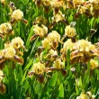 Stock Photo: Yellow-brown-purple irises
