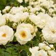 White roses bushes — Stock Photo #5480542