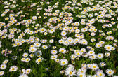 Field with blooming daisies in spring — Stock Photo