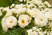 White roses bushes — Foto de Stock