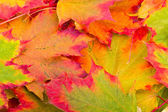 Outono folhas de plátano — Foto Stock