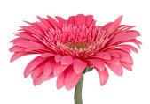Gerbera rosa flor — Foto de Stock