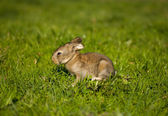 Gray bunny on green grass — Stock Photo