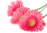 Pink gerbera flowers — Stock Photo