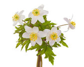 White anemone flowers — Stock Photo