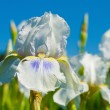 White iris against blue sky — Stock Photo #5569572