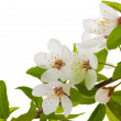 Blooming branch of plum tree — Stock Photo #5658558