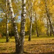 Birch grove in autumn — Stock Photo