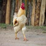 One cock — Stock Photo